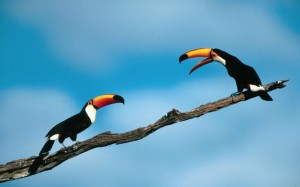 two toucans talking